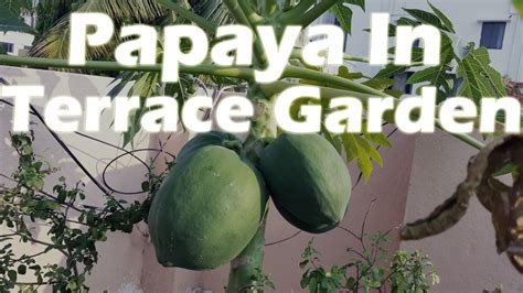 growing papaya   container terrace garden greentv