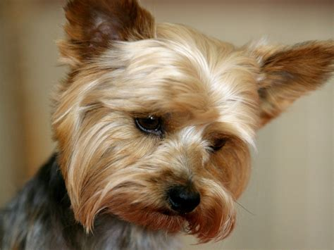 Does Border Terriers Shed by Yorkshire Terrier Temperament Bunkblog