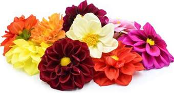 ordering flowers online dahlia flowers information and facts