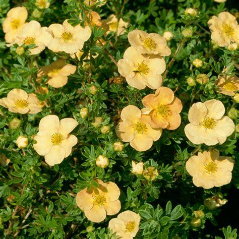 Potentilla 'Daydawn' - Shrubby Cinquefoil   GardenersDream
