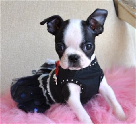 tiny toy boston terrier puppy adorable  girl  lb