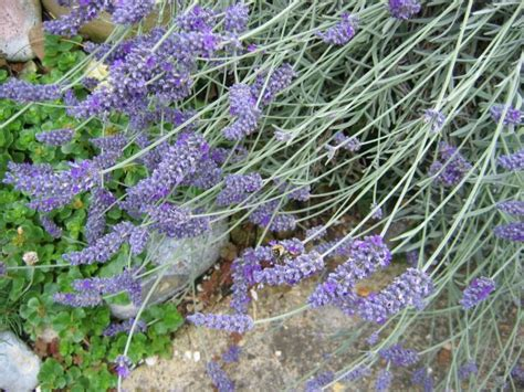 can i plant lavender in september lavender herb uses side effects and benefits
