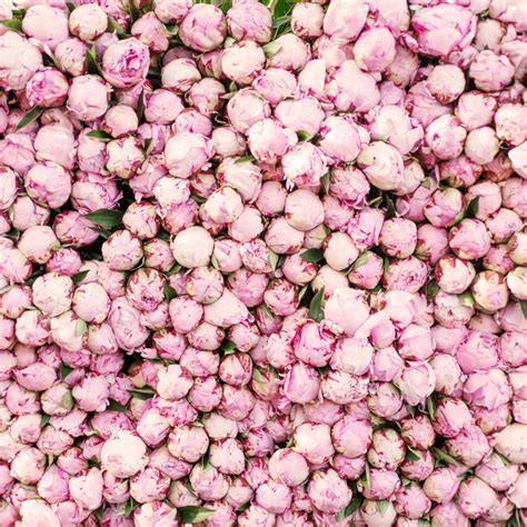peonies growing season peonies everything you wanted to know and more