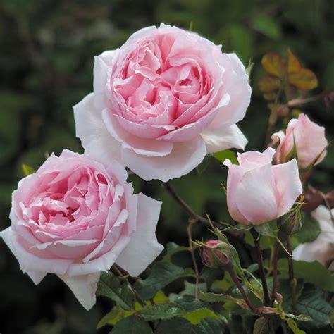 wedgwood rose climbing roses shop  type
