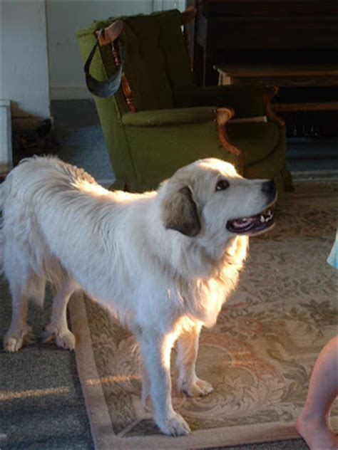 Great Pyrenees Shedding Help by Rural Revolution Questions About Pyrenees