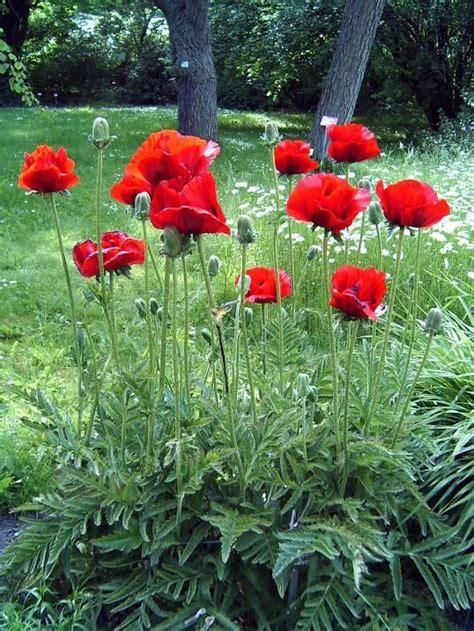 poppy flower garden oriental poppy flower garden ideas pinterest