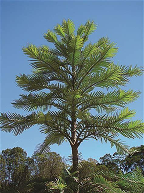 wollemi pine national arboretum canberra