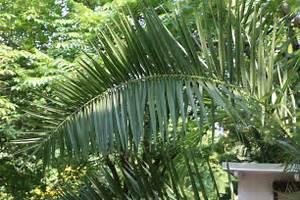 Welche Erde Für Palmen : palme bekommt gelbe bl tter oder braune blattspitzen ~ Watch28wear.com Haus und Dekorationen