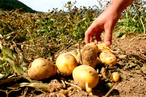 Grocers allege potato group pumped up spud prices – Idaho ...