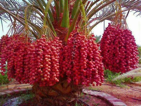 25+ Best Palm Tree Fruit Ideas On Pinterest Pineapple
