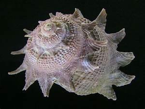 Astraea Heliotropium