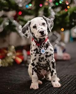 The 25+ best Dalmatian puppies ideas on Pinterest ...