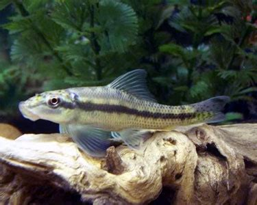 interesting facts  chinese algae eaters haydens