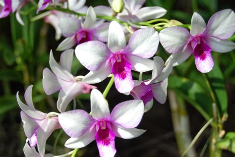 pictures of orchids flowers flowers desktop wallpaper orchid flowers