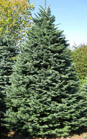 noble pine christmas tree your guide to evergreen christmas trees 1514