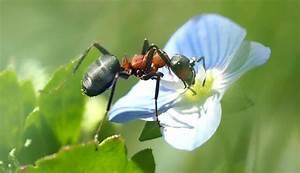 Ameisen Im Gewächshaus : ameisen die wahren riesen und arbeitss chtler im wald ~ Lizthompson.info Haus und Dekorationen