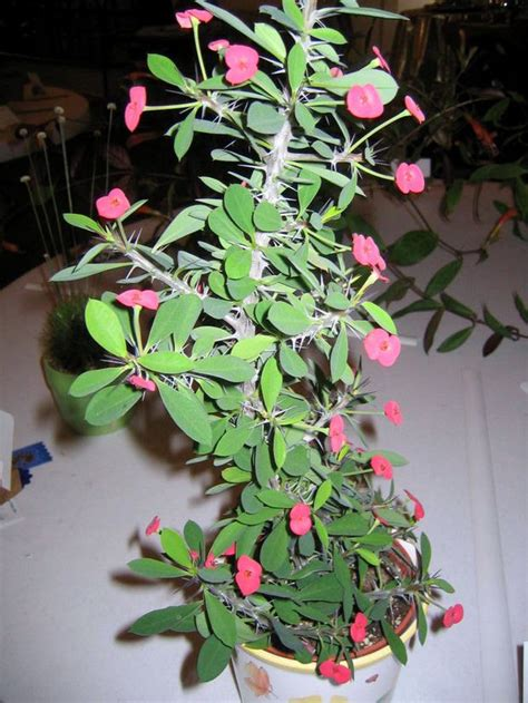pain involved  growing crown  thorns plant silivecom