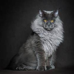 maine coon cats for maine coon cats majestic side captured by photographer