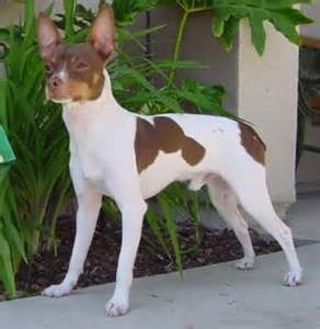 dogs breeds information rat terrier dog profiles and