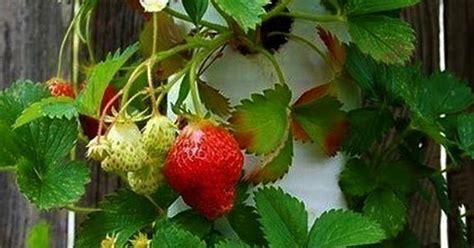 syarat tanaman hidroponik buah buahan tumbuh