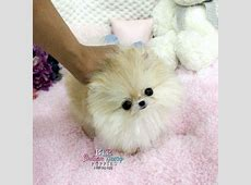 RSPCA warns against buying South Korean 'teacup' puppies