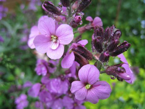 wallflower perennial