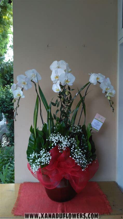anggrek bulan putih white moon orchids xanadu flowers