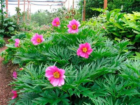 peony species paeonia veitchii species peony that happily grows in shade plus look at that fine cut foliage