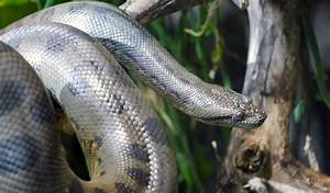 Anaconda Snake - Facts, Diet & Habitat Information