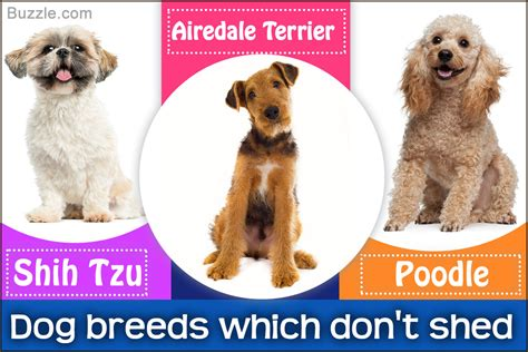 breeds that shed the most hair most popular hypoallergenic non shedding breeds