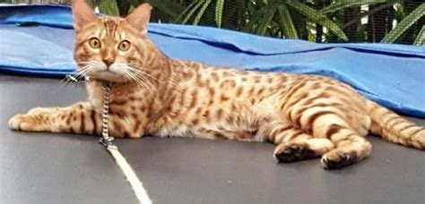 Missing Cat With Leopard Spots Last Seen Around Bishan And