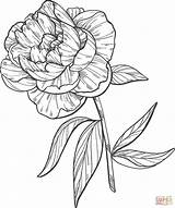 Coloring Peony Pages Printable Supercoloring Categories sketch template