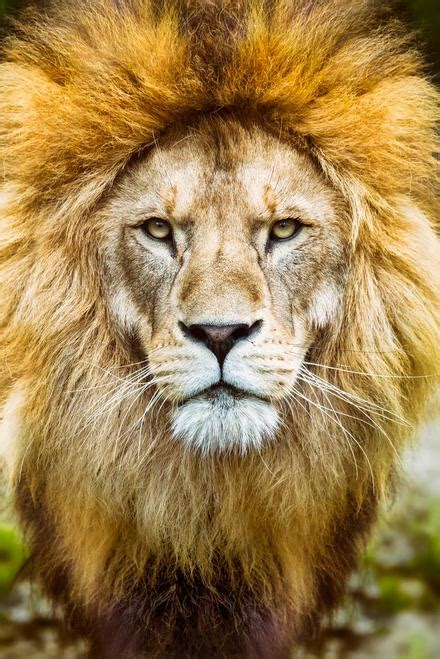 african lion head shot   camera photo art print