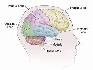 1  Lobes Of The Cerebral Cortex