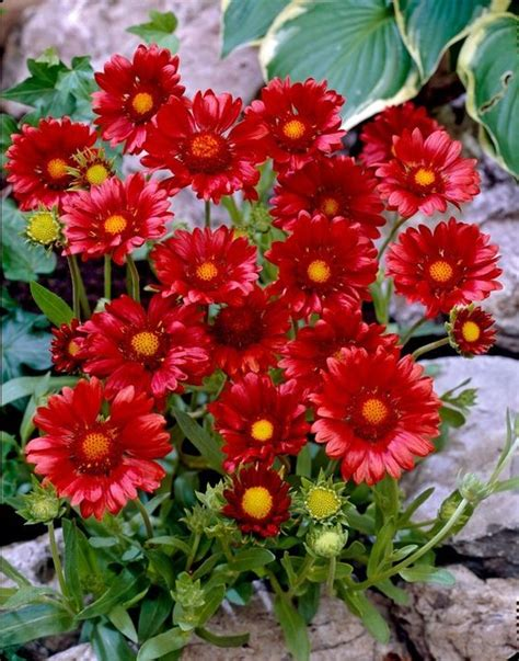 perennials that bloom all summer red perennial flowers that bloom all summer www imgkid com the image kid has it