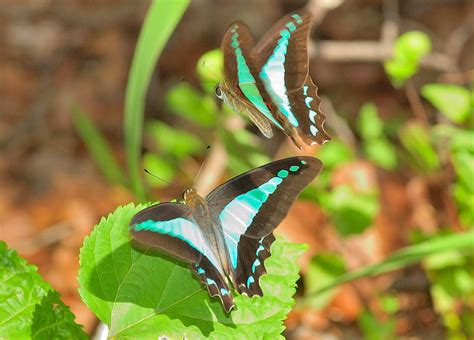 blue triangle butterfly graphium sarpedon