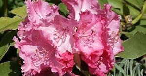 Wann Blüht Der Rhododendron : wildfind rhododendron ~ Eleganceandgraceweddings.com Haus und Dekorationen