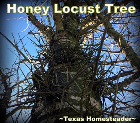 Honey Locust Trees Useless Yet Useful ~texas Homesteader~
