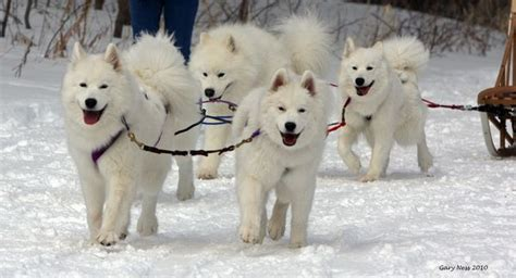 Samoyeds Puppies My Snow Used To Pull Me On A Sled Like