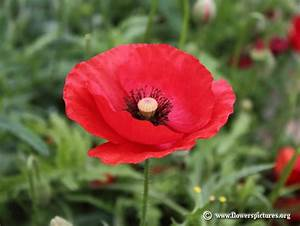 Corn poppy pictures, Field poppy pictures