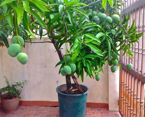 in a pot how to grow mango tree in pot