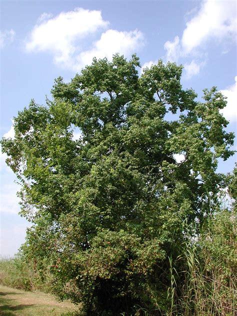 ChineseTallow (Popcorn tree) « AQUAPLANT