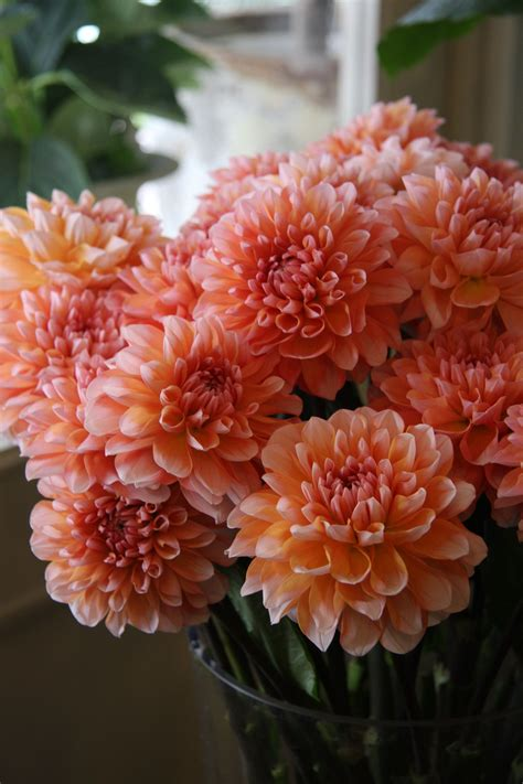 Coral Dahlias And Classic White Gerbera Daisy Bridal