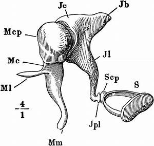 Diagram Of The Ear Ossicles