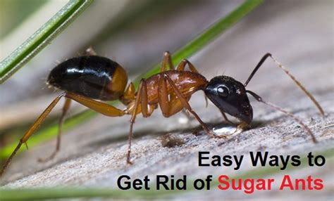 How To Get Rid Of Sugar Ants In Your Pantry