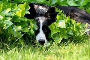 Schneckenkorn Giftig Für Hunde : efeu wie giftig ist er f r hunde ~ Lizthompson.info Haus und Dekorationen