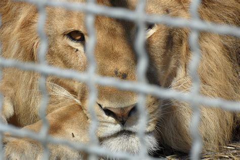 Animali In Gabbia - rubano il furgone di un circo con dentro un notizie it