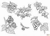 Berries Coloring Printable Drawing Skip sketch template