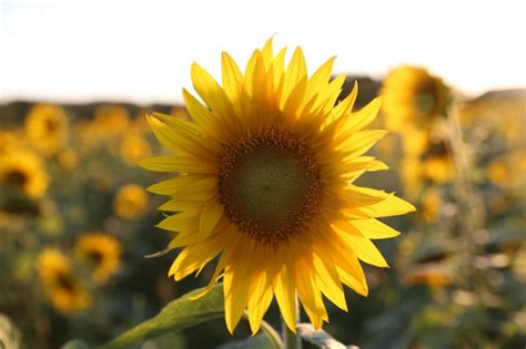 selective focus photography  yellow sunflower  image