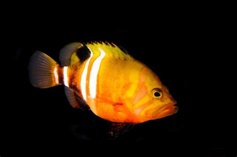 fish neptune grouper golden most basslet expensive